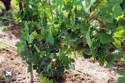 l'état d'avancement de la maturation des raisins début juillet.